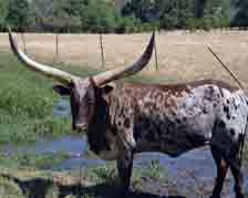animal;animals;hoofed-animal;hoofed-animals;steer;long-horn-steer;cow;pasture;steer-in-pasture;cow-in-pasture