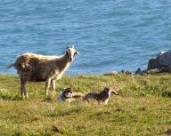 animal;-goat;-ocean