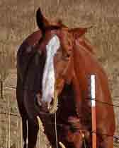animal;animals;horse;pasture;horse-in-pasture;curious-horse;curious-animal;hoofed-animal;hoofed-animals;curious