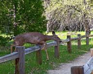 deer;-animal;-Yosemite