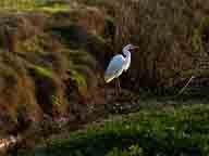 bird;birds;Colusa-Plains;freshwater-marsh;marsh;migratory-birds;National-Wildlife-Refuge;riparian-woodlands;Sacramento-National-Wildlife-Refuge;seasonal-marsh;vernal-pools;wetlands;wildlife-viewing;Willows-CA