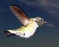 Annas-Hummingbird;Calypte-anna;Hummingbird;iridescent-crown;red-central-patch;red-crown;red-throat;short-bill;sloping-forehead;straight-bill