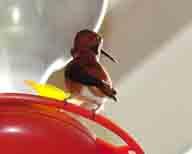 Hummingbird;hummingbirdjpg;Rufous-Hummingbird;Selasphorus-rufus