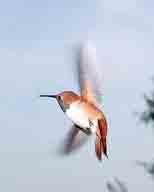 bird;Hummingbird;hummingbirdjpg;Rufous-Hummingbird;Selasphorus-rufus