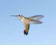 Rufous-Hummingbird;Selasphorus-rufus;bird;Hummingbird;hummingbirdjpg