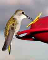 Archilochus-alexandri;bird;black-chin;hummingbird;hummingbirdjpg;long-bill;female-hummingbird