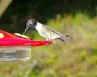 Archilochus-alexandri;bird;black-chin;black-head;hummingbird;hummingbirdjpg;long-bill;purple-band;male-hummingbird