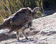 beak;bird;birds;feather;feathers;Mono;Basin;sage;grouse;Bodie;State;Park