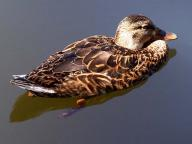 beak;bird;birds;feather;feathers;duck