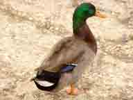 cloudy;Folsom-Lake;lake;fall;bird;birds;duck