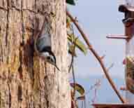 bird;white-breasted-nuthatch