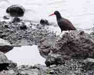 Haematopus-bachmani;Bodega-Bay;Sonoma-County;Sonoma-Coast;California-Coast;coastal;coastline;Black-Oystercatcher;red-orange-bill