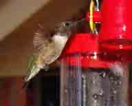 adult;Black-chinned;Hickory-Creek-TX;hummingbird;male