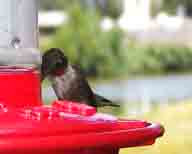 adult;Hickory-Creek-TX;hummingbird;male;red-throat;Ruby-throated