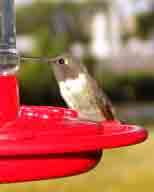 Hickory-Creek-TX;hummingbird;Ruby-throated