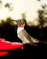 Hickory-Creek-TX;hummingbird;red-throat;Ruby-throated
