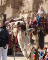 egypt;-giza;-camels
