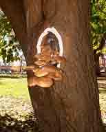 fungus;mushroom;Armillaria-mellea;fungi;honey-mushrooms;mushrooms;tree-mushrooms