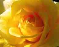 flowers;roses;rose;flower