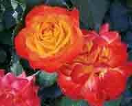 roses;rose;flower;flowers