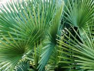 Napa-Valley;Palm-Frond