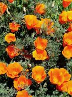 wildflower;Papaveraceae;Eschscholzia-californica;California-Poppy;wildflowers;flowers