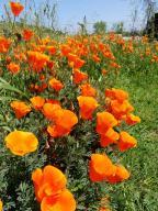 flowers;poppy;California-Poppy;flower;Eschscholzia-californica;Papaveraceae;wildflower;wildflowers