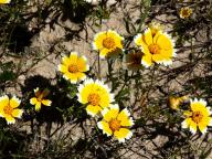 flowers;wildflowers;Tidy-tips;Layia-platyglossa;Asteraceae