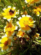 flowers;bumblebee;bee;yellow;Tidy-tips