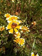 flowers;bee;Tidy-tips;flower