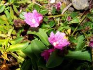 Malvaceae;Sidalcea-malvaeflora;Checkerbloom;wildflowers;flowers
