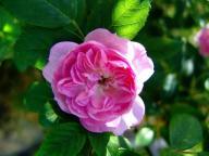 flower;pink-rose;blossom