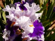 flower;iris;blossom;purple