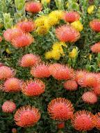 flower;African;Leucospermum;proteaceae