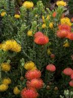 African;flower;Leucospermum;proteaceae