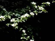 dogwood;wildflower;wildflowers