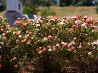 flowers;rose-bush