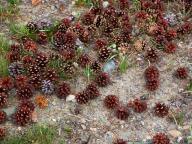 seeds;pine-cones;conifer