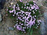 Polemoniaceae;Gilia-leptalea-ssp-bicolor;Gilia;wildflowers;flowers