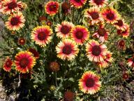 flowers;yellow;red;Gerbera-jamesonii;Transvaal-daisy;Gerbera-spp;Gerber-daisy