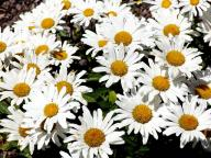 flowers;Shasta-Daisy;Chrysanthemum-maximum;Asteraceae