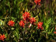flowers;wildflowers;Indian-Paintbrush;Castilleja-pruinosa;Scrophulariaceae