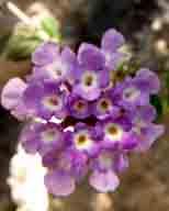flower;flowers;lantana;verbona