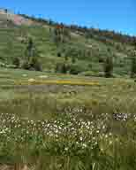 flower;flowers;alpine-meadow;Mt-Rose;wildflower;wildflowers