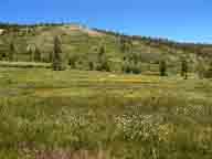 flower;flowers;alpine-meadow;Mt-Rose;wildflower;wildflowers