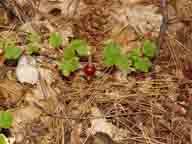 Hwy-20;Sierra-Nevada;wilderness;flower;flowers;wildflower;wildflowers