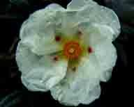 Cistus-ladanifer-aka-Crimson-Spot-Rockrose-or-Gum-cistus;flowers;flower