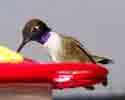 Black Chinned Hummingbirds