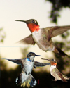 Texas Hummingbirds